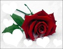 Red rose (trandafir rosu)