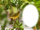 Oiseau-chanteur