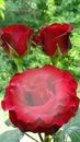 foto en rosa roja