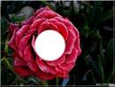 ma petite rose