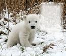 """Knut """"im Herzen"""""""