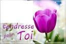 tulipe rose laly
