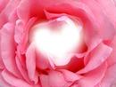 Au cœur de la rose