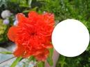 fleur du grenadier