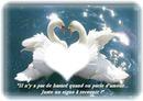 cygnes d'amour