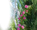 Roses d'antan