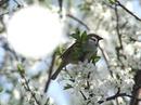Oiseau-pommier-nature
