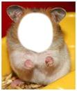 hamster xd