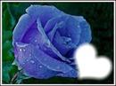rose bleu ! ;)