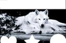 couple loups blanc