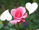*Bouton de Rose*