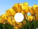 dans les tulipes