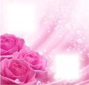 rose 2 photo