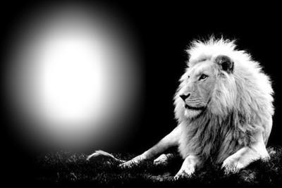 photo lion bouchiba djelfa algerie