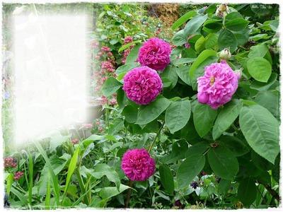 Jardin de Roses.