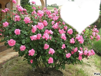 massif de roses rose