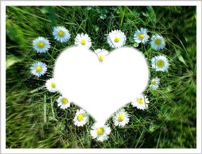 coeur paquerettes
