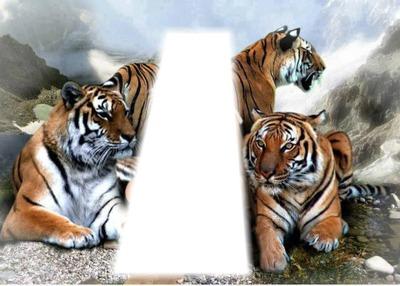 3 tigres