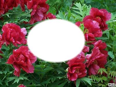 Pivoines rouge