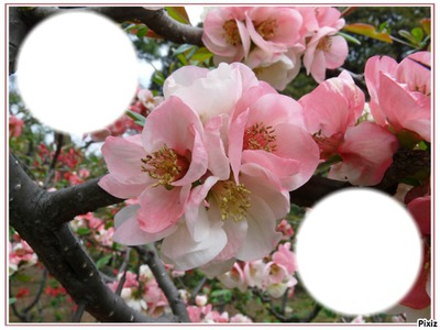 *fleurs de cerisier*