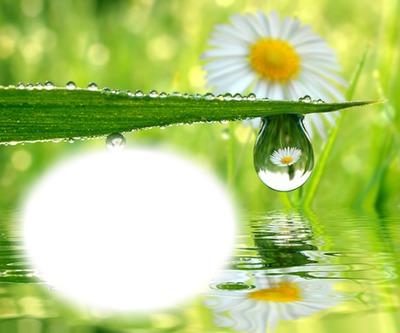 Marguerite-fleur-pluie
