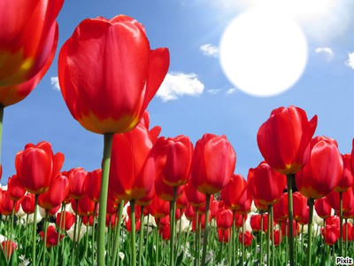 Tulipe à Marie