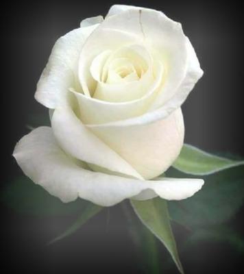 Montaje fotografico Rosa blanca - Pixiz