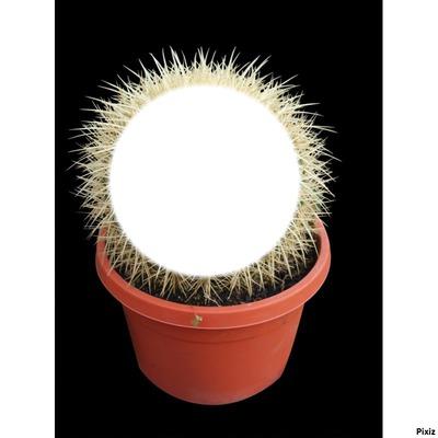 cactus baboul