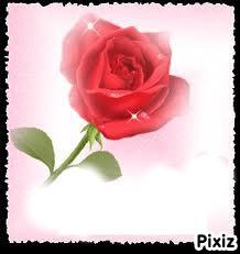 magnifique rose