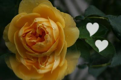 rose du matin effet Mirage