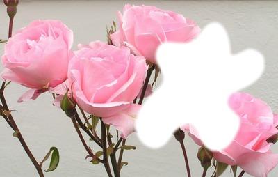 Rose tendresse/*
