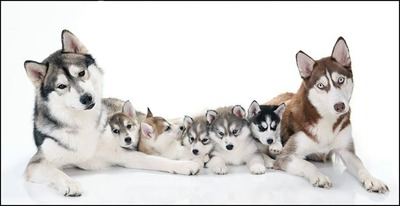 famille de 7 Husky 3 photos