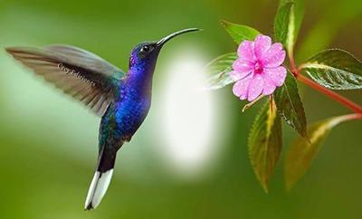 Cc colibrí del amor
