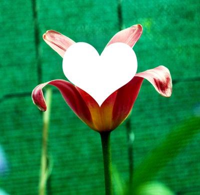 coeur de tulipe / Tulip heart