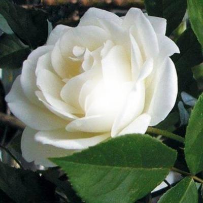 photo fleurs bouchiba djelfa algerie