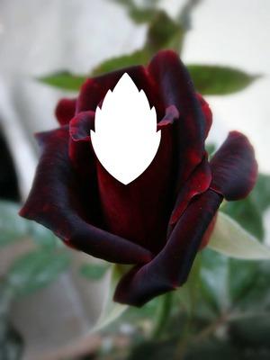 Rosa GRANATE