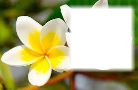 Fleur Tiarer jaune