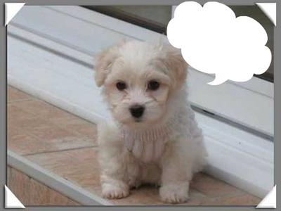 montage photo petit chien blanc pixiz. Black Bedroom Furniture Sets. Home Design Ideas