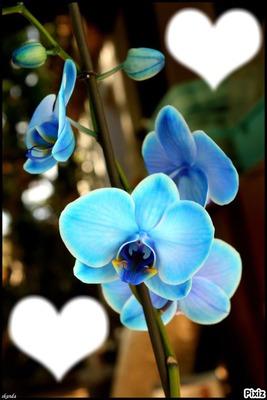 orchidee bleue photos