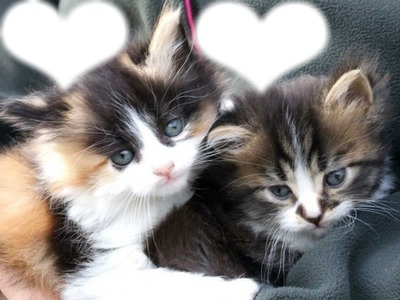 deux chatons et deux coeurs photo