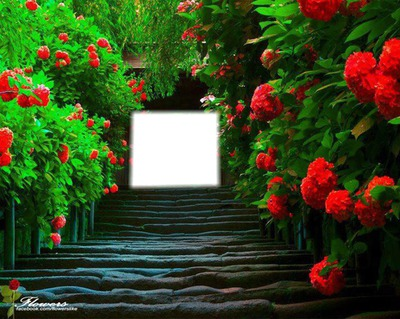 rose rouge cadre