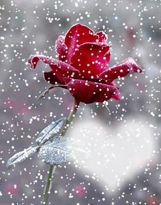 le coeur d'une rose