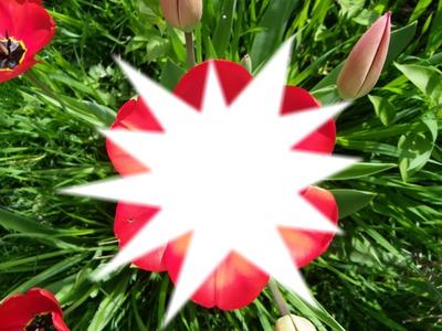 tulipe brisée