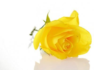 Rose yelloow