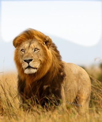 Cc majestuoso León