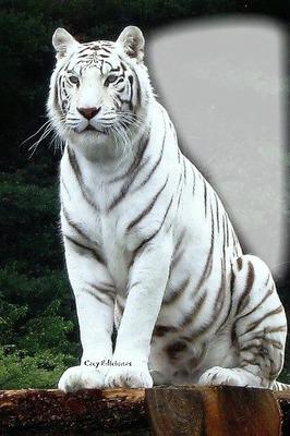 Cc majestuoso tigre