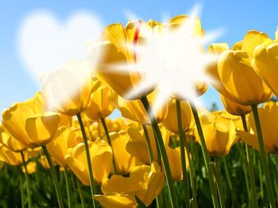 tulipes a deux visages