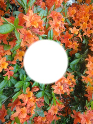 2014 05 08 orange Azalee