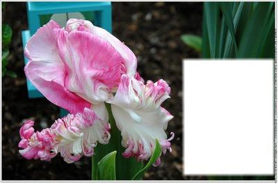 Fotomontage Tulipe rose et blanche - Pixiz
