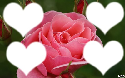 *rose-rose pour la tendresse*